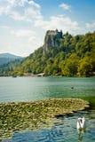 荷花和天鹅在Bled湖 库存照片