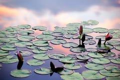 荷花和日落云彩反射在池塘 免版税库存图片