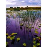 荷花和高草在圣约翰斯河 库存照片