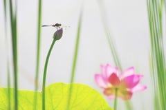 荷花和蜻蜓 图库摄影