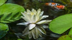 荷花在有鱼的池塘在背景中 免版税库存图片
