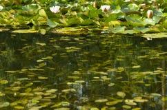 荷花在池塘 库存图片