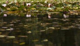 荷花在池塘 免版税图库摄影