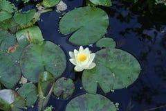 荷花在池塘 免版税库存图片