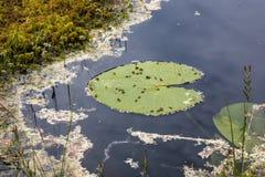 荷花在荷花的叶子甲虫生叶 免版税库存图片