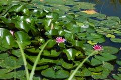 荷花在水池 免版税库存图片