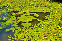 荷花地毯在一个池塘的在公园 库存照片