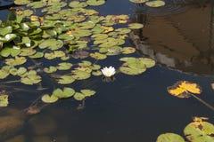 荷花开花被日光照射了在湖 在水中是天空和小山照片的反射 库存图片