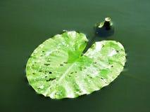 荷花星莲属叶子植物自然照片 免版税库存照片