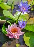 荷花桃红色莲花在水池的绽放花 库存照片