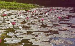 荷花植物在湖 免版税库存图片