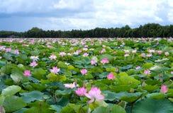 荷花池全景在平安和安静的乡下 库存照片