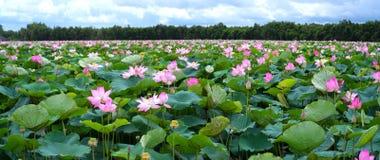 荷花池全景在平安和安静的乡下 免版税库存图片