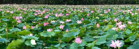 荷花池全景在平安和安静的乡下 免版税图库摄影