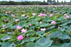 荷花池全景在平安和安静的乡下 免版税库存照片