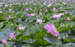 荷花池全景在平安和安静的乡下 库存图片