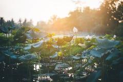 荷花池和日出筑成池塘与莲花叶子和日落在晚上 凉快的天气 图库摄影
