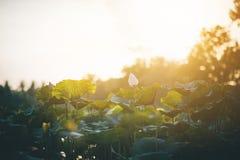 荷花池和日出筑成池塘与莲花叶子和日落在晚上 凉快的天气 免版税库存图片