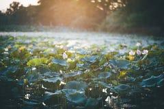 荷花池和日出筑成池塘与莲花叶子和日落在晚上 凉快的天气 免版税图库摄影