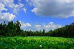 荷花池和蓝天 图库摄影