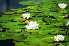 荷花池塘在奥地利 免版税库存照片