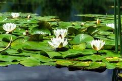 荷花池塘在奥地利 图库摄影