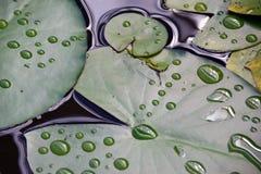 荷花的叶子在池塘 免版税图库摄影
