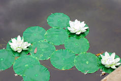 荷花的塑料装饰在水的 库存照片