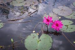 荷花花莲花和叶子 库存图片