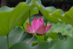 荷花 (学名: SP Nelumbo ; 英文名称: Цветок лотоса) стоковое изображение