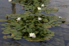 荷花-星莲属 库存图片