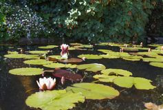 荷花 池塘在贝纳公园  库存照片