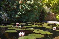荷花 池塘在贝纳公园  免版税库存图片