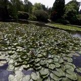 荷花-睡莲科或睡莲叶在Shefield湖, Uckfield,英国 免版税库存照片