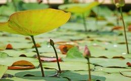 荷花leaf 库存图片