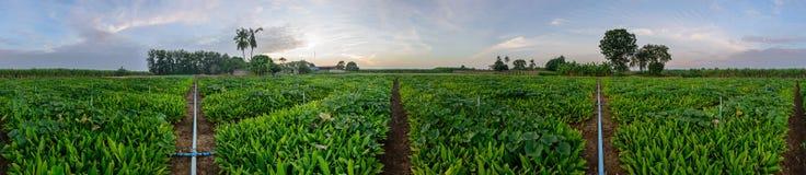 莎草属植物领域360度全景  库存照片