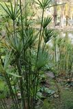 莎草属纸莎草植物在庭院里 库存照片