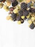 黑莓分支在灰色背景的 库存图片