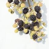 黑莓分支在灰色背景的 免版税库存图片