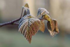 莓叶子在与树冰的12月早晨 库存照片