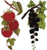 莓和黑醋栗 免版税库存图片