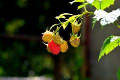 莓在庭院里及早在夏天 免版税库存图片