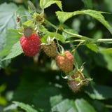 莓在庭院里及早在夏天 库存照片