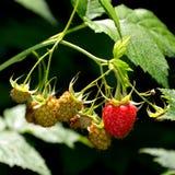 莓在庭院里及早在夏天 库存图片