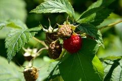 莓在庭院里及早在夏天 图库摄影
