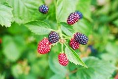 黑莓在庭院里成熟 图库摄影