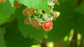 莓在庭院里 影视素材