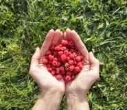 莓在手上 背景草查出的白色 库存照片