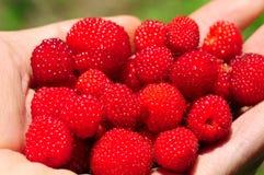 莓在手中 库存图片