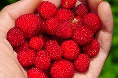 莓在手中 免版税库存照片